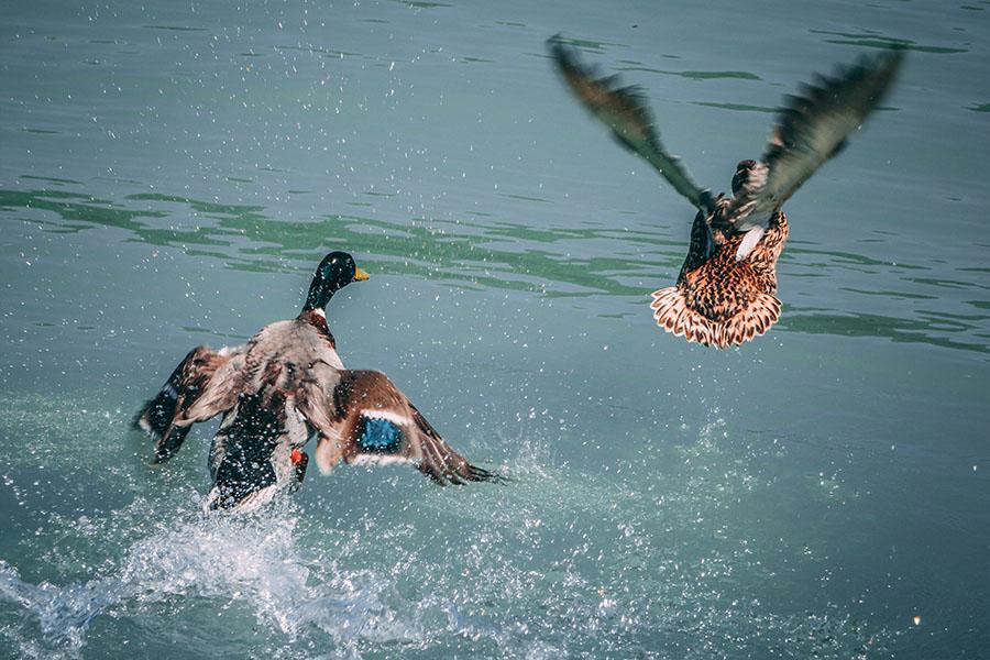 Abbildung: Erpel jagt Ente