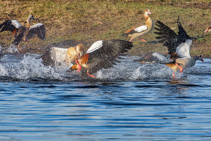 Abbildung: Nilgänse kämpfen mit Ente und halten sie unter Wasser
